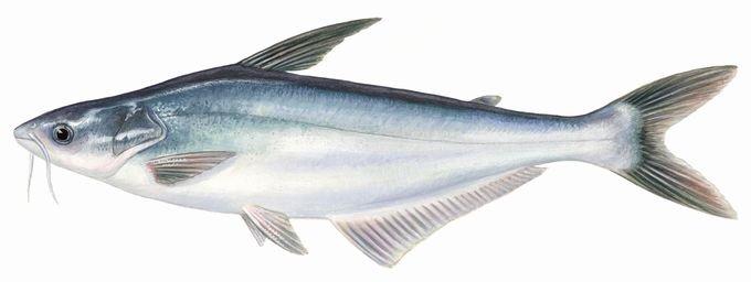 pangasius propiedades nutircionales omega-3