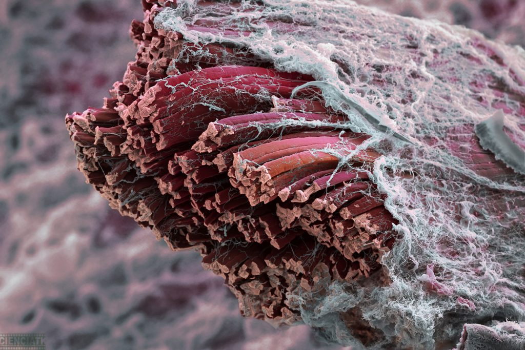 tipos de fibras musculares rojas o blancas