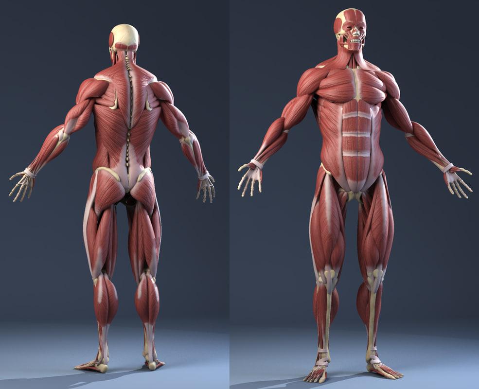 fibras musculares rojas