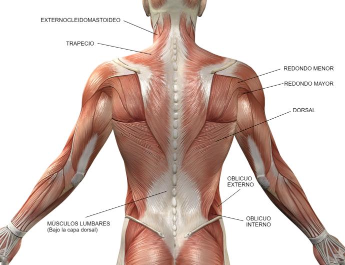 musculos de la espalda