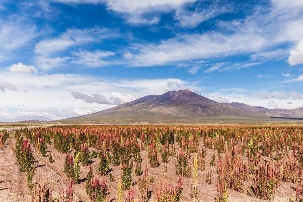 como crece la planta de quinoa