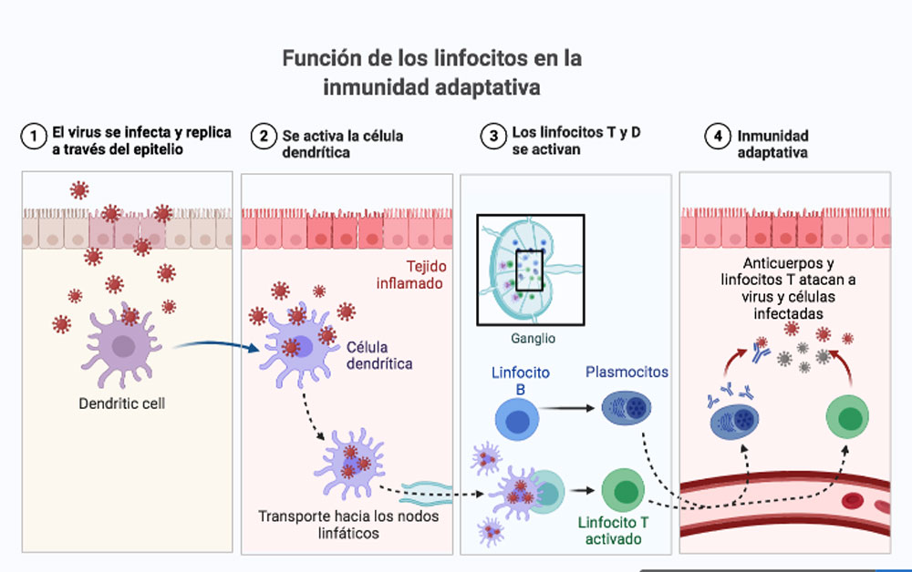 funcion de los linfocitos